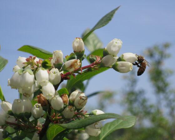 ブルーベリーとミツバチ