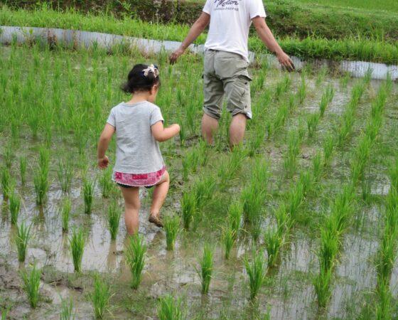 田んぼの草引き