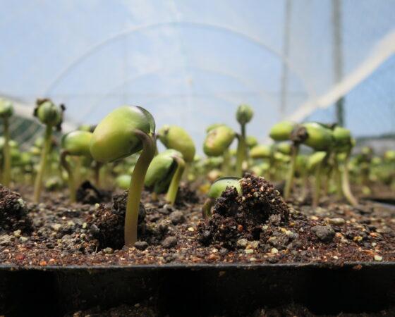 黒豆の芽が出てきました!