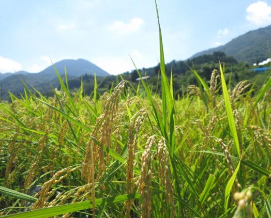 収穫間近!稲刈りの下見