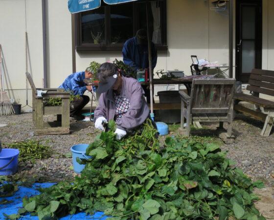 オトナの遠足・黒枝豆の葉取り