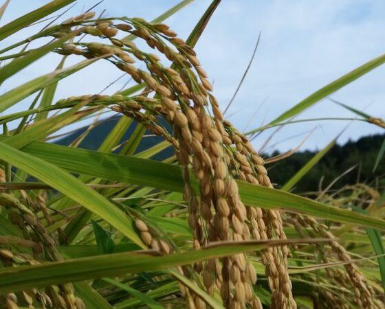 【猿結び米】もうすぐ稲刈り