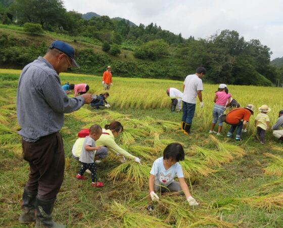 【猿結び米】稲刈り&天日干し
