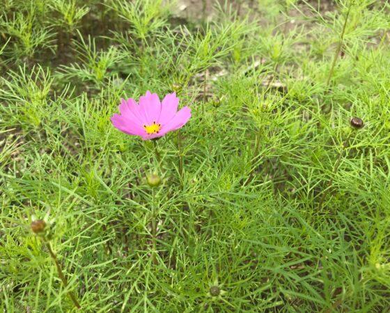 黒豆畑の側にコスモスの花