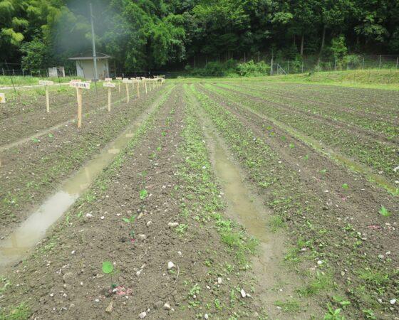 苗植えの翌日