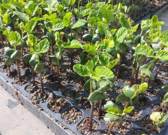 黒豆の苗を定植