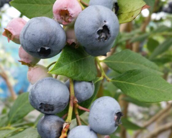 ブルーベリー収穫イベント