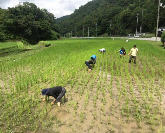 無農薬田んぼの草引き