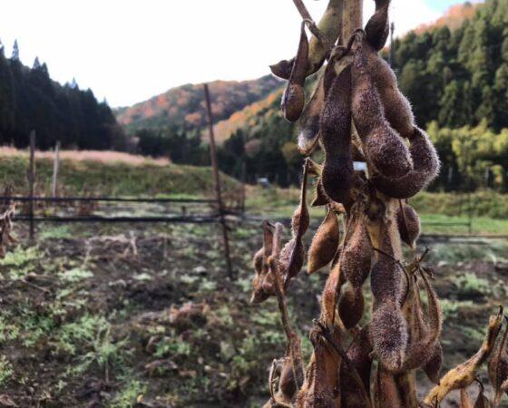黒豆の葉取り作業