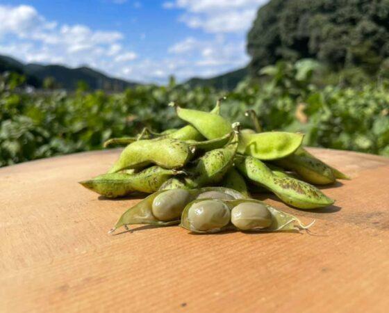 黒豆収穫イベント第一回目