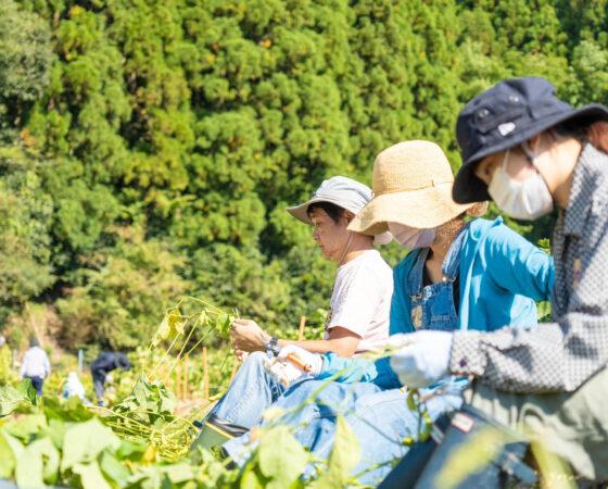 黒枝豆2回目の収穫イベント